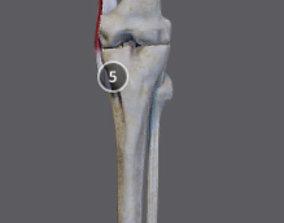 Thigh Adductors 3D model