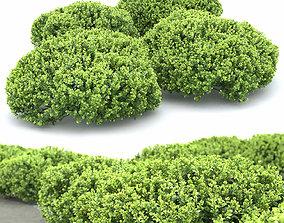3D model Berberis thunbergii Kobold
