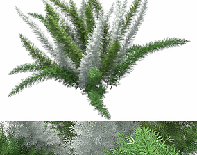 Asparagus Densiflorus Meyersii W 3D