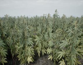 3D asset Realistic Optimized Cannabis