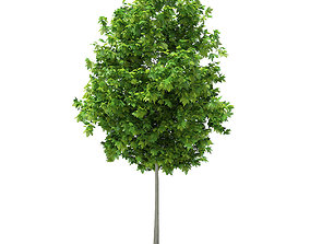 Sycamore Maple Acer pseudoplatanus 4m 3D model