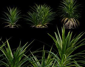 3D Pandanus amaryllifolius - Pandan leaves - Edible 1
