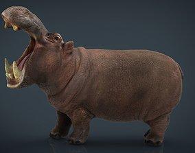 3D asset African Hippopotamus