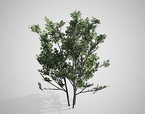 3D model Common Hazel tree