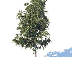 Summer white birch 18 meters garden 3D