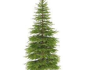 Spruce height 7 metre 3D model