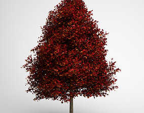 CGAxis Red American Sweetgum 10 3D model
