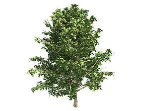 3D model American Holly Shrub Tree