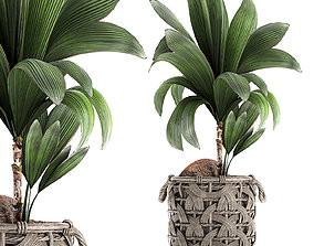 Cocos nucifera for the interior in basket 663 3D