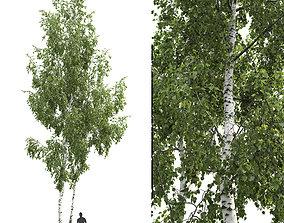 Betula 06 H14 m forest 3D