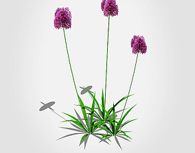 Allium aflatunense - Purple Allium 3D asset