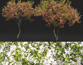 Malus flowering 07 3D