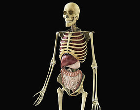Human Skeleton With Digestive and Respiratory 3D model