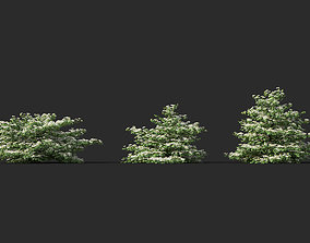 3D model Viburnum plicatum Japanese snowball 01 Growfx and