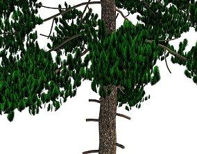 3D Pinus Sylvestris B