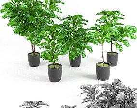 tree 3D Ficus Lyrata