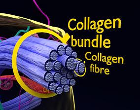connective tissue elements labelled 3D model
