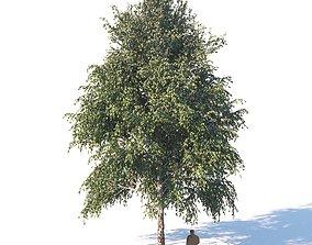 White birch 14 meters 3D
