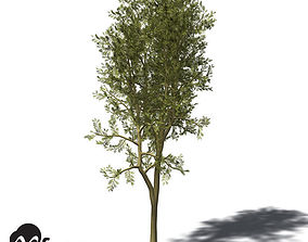 3D XfrogPlants Yellowwood