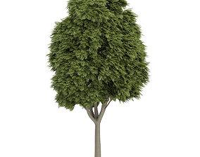 3D model Common Ash 2