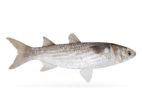 3D model Fish Mullet