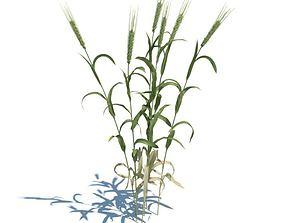 Adult Green Wheat 3D model