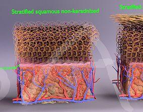 Skin epithelium squamous stratified 3D model skin
