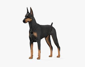 dog 3D model Doberman Pinscher HD