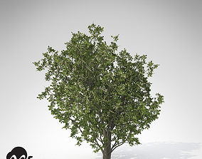Common Hawthorn 3D