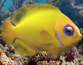 Lemon Lauwiliwili Reef fish 3D