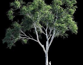 Eucalyptus 9 3D model