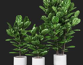 Ficus pandurata pot02 3D