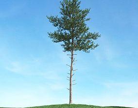 Tall Pine Tree 3D