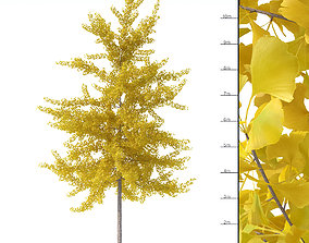 3D model Ginkgo biloba tree 12m