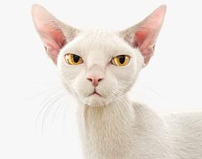 Cat White Fur Shorthair Animated XGen Core 3D 3d