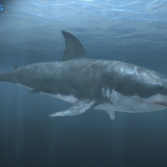 Animated Great White Shark