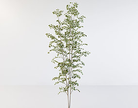 3D model Fraxinus griffithii Tree 3 evergreen