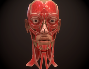 3D model Head Face Muscle Structure Anatomy