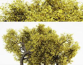 Amur Cork Fall tree collection 3D