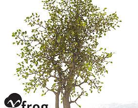3D model XfrogPlants Egyptian Carissa