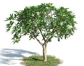 3D model Plumeria obtusa 47 am154