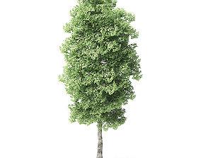 Red Alder Tree 3D Model 6m