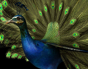 wildlife peacock 3d model