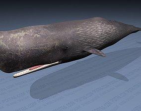 Sperm Whale - Physeter Macrocephalus - Adult 3D model 3