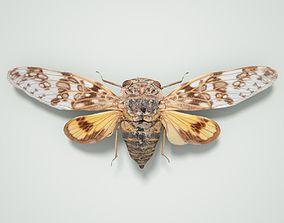Cicada Platypleura Fulvigera Singapore 3D model