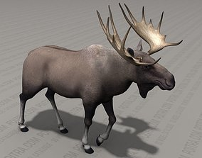 3D model Bull Moose with Large Antlers - Alces Elk - 4