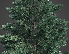 3D 2021 PBR White Spruce Collection - Picea Engelmanni