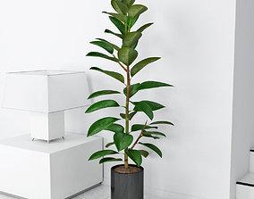 ficus Ficus elastica 3D model