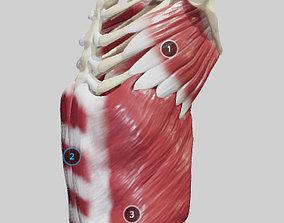 3D model External Oblique And Linea Alba