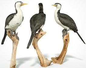 VR / AR ready Pied Cormorant 3d scanned bird